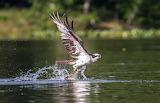 Birds - Osprey - with catch- Potomac River