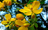Groges - In Yellow-flowers