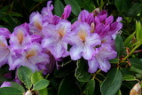 Rhododendron Mrs J P Lade