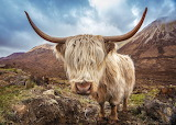 16-highland-cattle-isle-of-skye-scotland-uk