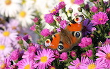 Beautiful-Butterfly-Flower-Hd-Wallpaper-
