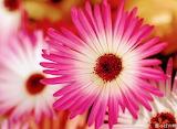 Flores445