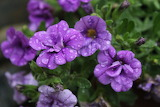 Purple flowers in the rain by kikitwou-d4xy4vc