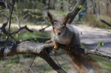 Squirrels Rodents Branches Glance 572207 1280x847