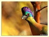 PurpleCrestedTuraco