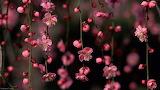 Pink Climber flower