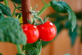 Tomatoes, ripe, plant, vegetable, food, red