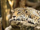 #Leopard