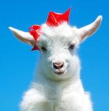 Cabra - Goat