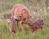ROE deer with two cubs