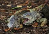 iguana fighting male iguanas