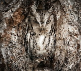 "Birds tumblr tangledwing ""Eastern Screech Owl"" ""Graham McGeorge"""