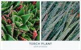 Outdoor succulents-torch-plant