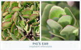 Outdoor succulents-pigs-ear