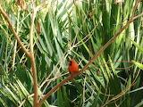 Cardinal and palm fronds