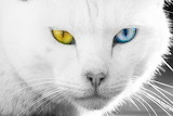 White-cat-different-eyes