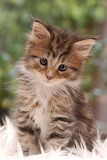 ~ Cute or what? ~ Maine coon kitty.