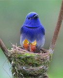 Black-Naped Monarch with hungry chicks