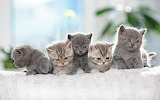 British shorthair kittens