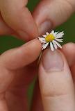 Daisy fingers