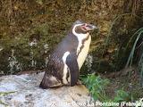 Humboldt Penguin / Manchot de Humboldt