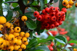 Yellow and Red Berries