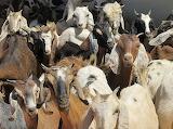 Goats Sudan