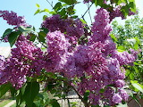 Lilac Branches 522902 1365x1024