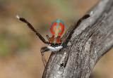 Peacock spider Australia