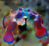 Mating Mandarinfish approaching