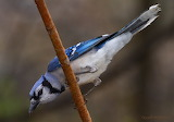 Blue Jay heading to feeder.