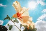 Sunlit Hibiscus