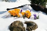 crocus in the winter