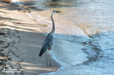 Great blue heron in the surf
