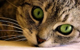Green Eyes Kitten...