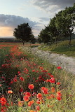 Poppies in North Yorkshire