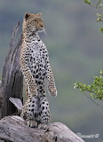 tracking jaguar