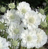 Scabiosa Miss Willmot