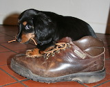puppy with a shoe