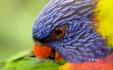 ^ Rainbow Lorikeet preening its feathers