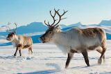 Rens - Reindeer