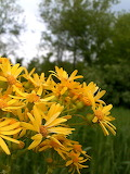 Wildflower Yellow Ragwort 03