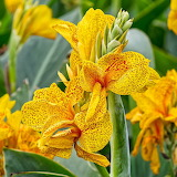 Canna 'Golden Lucifer'