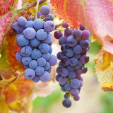 ♥ Purple Grapes...