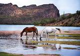 wild-salt-river-horses-at-saguaro-lake-arizona-dave-dilli