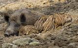 Wildschwein Familie/Wild boar family