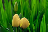 Three-yellow-tulips