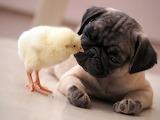 Цыпленок и щенок