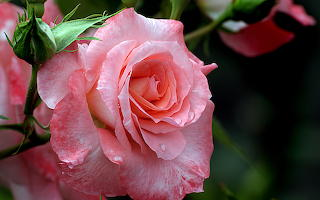 Magnificent Pink Rose CC0