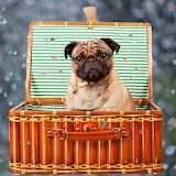 Pug for Picnic...